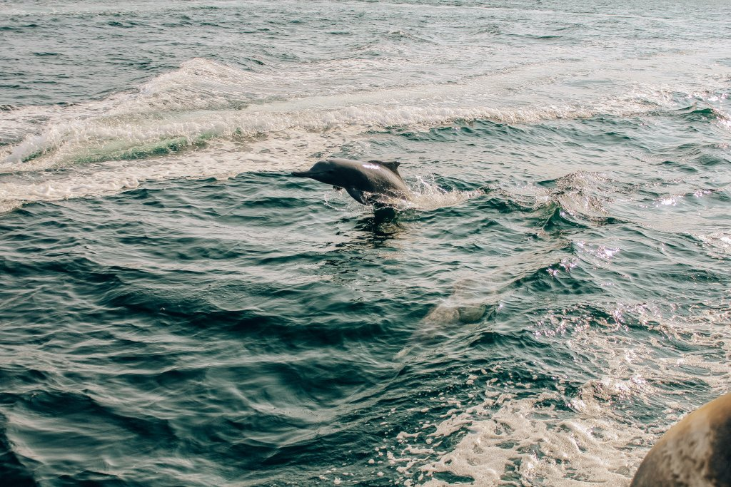 A dolphin leaps out of the Persian Gulf during a Musandam Oman trip.