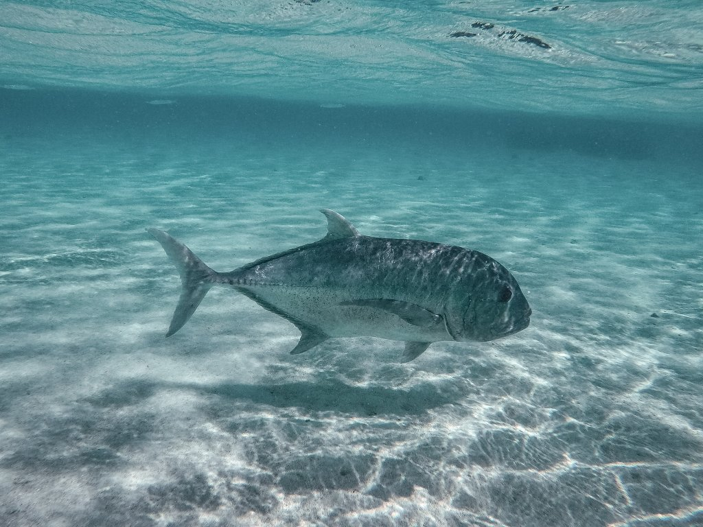 A large fish underwater in the cook islands.