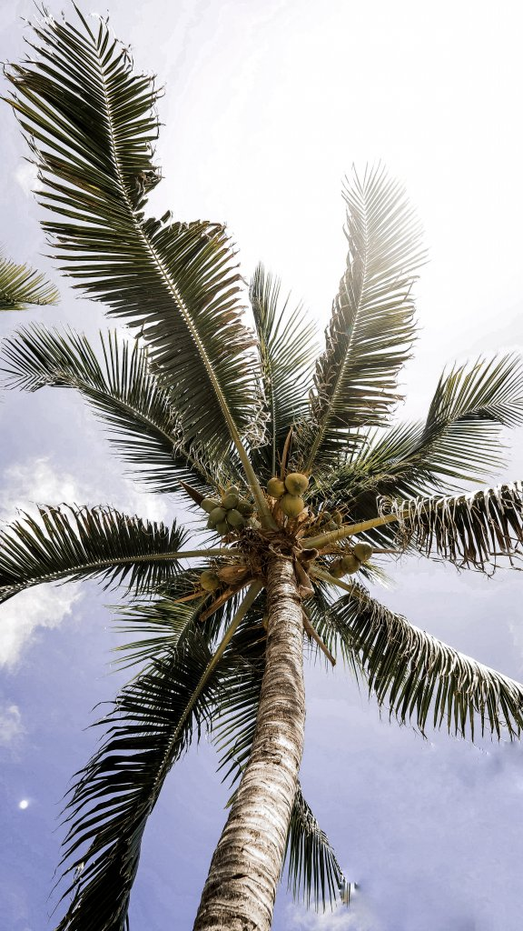 A tall palm tree with coconuts in Yucatan, Mexico.