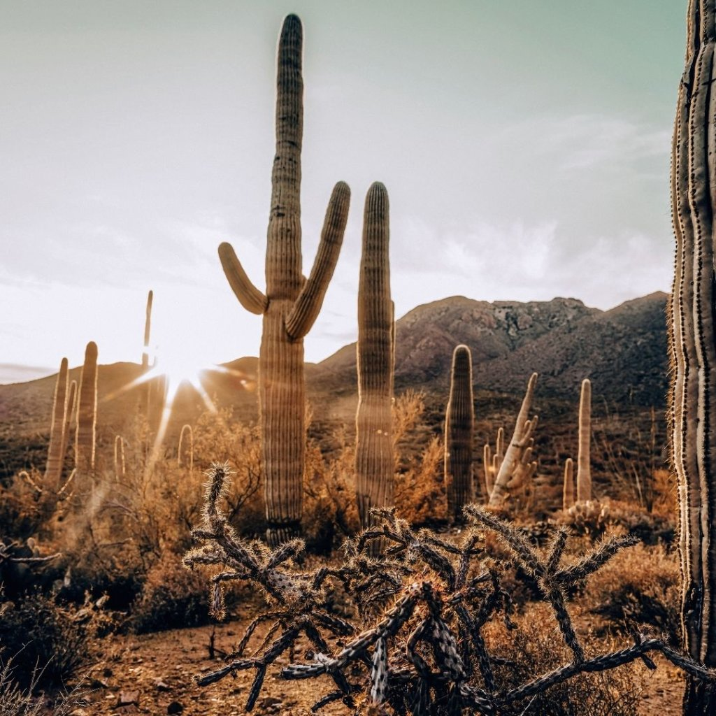 Tall Saguaro's in the sun, a USA Bucket List MUST SEE.