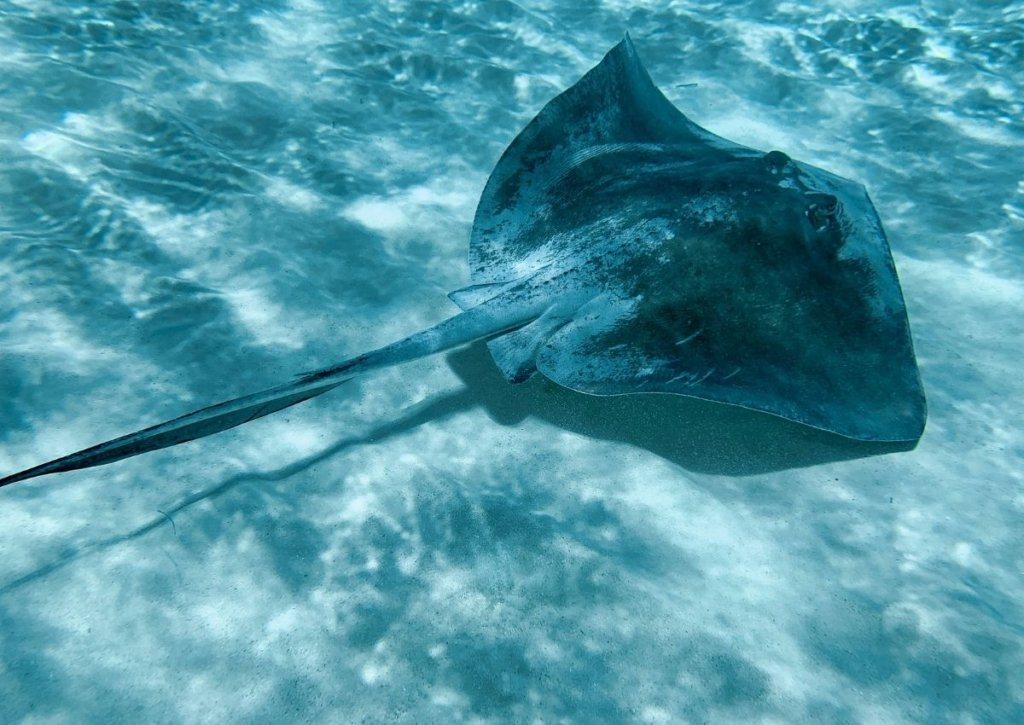 Swimming with stringrays in Cozumel, a top excursion in the Yucatan Peninsula.