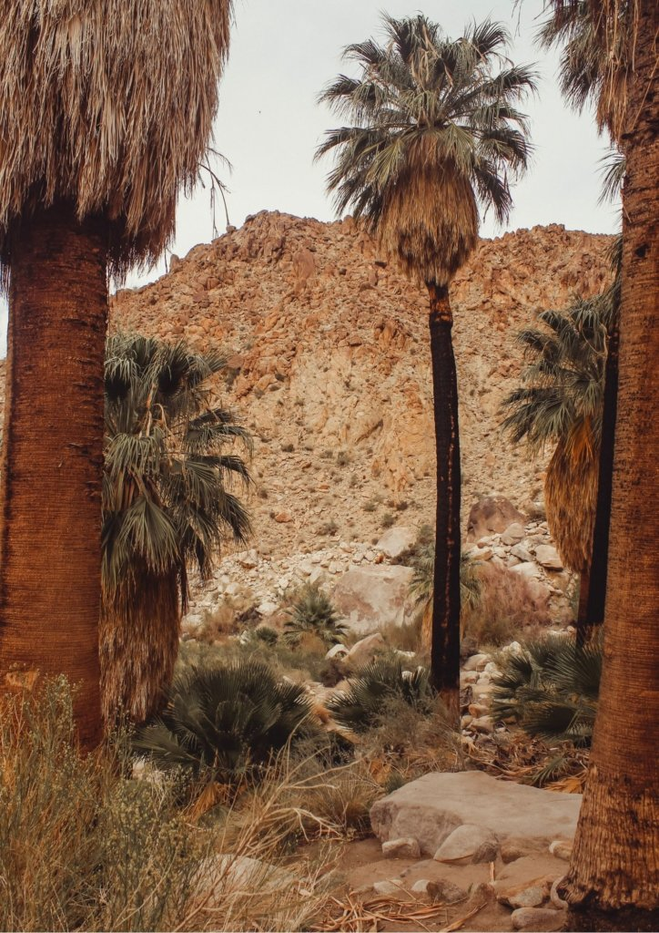 The palm trees surrounding the oasis at Joshua Tree National Park.