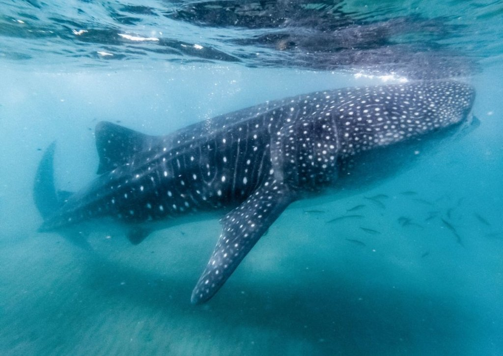 Giant whale shark swimming in blue water at Isla Holbox.