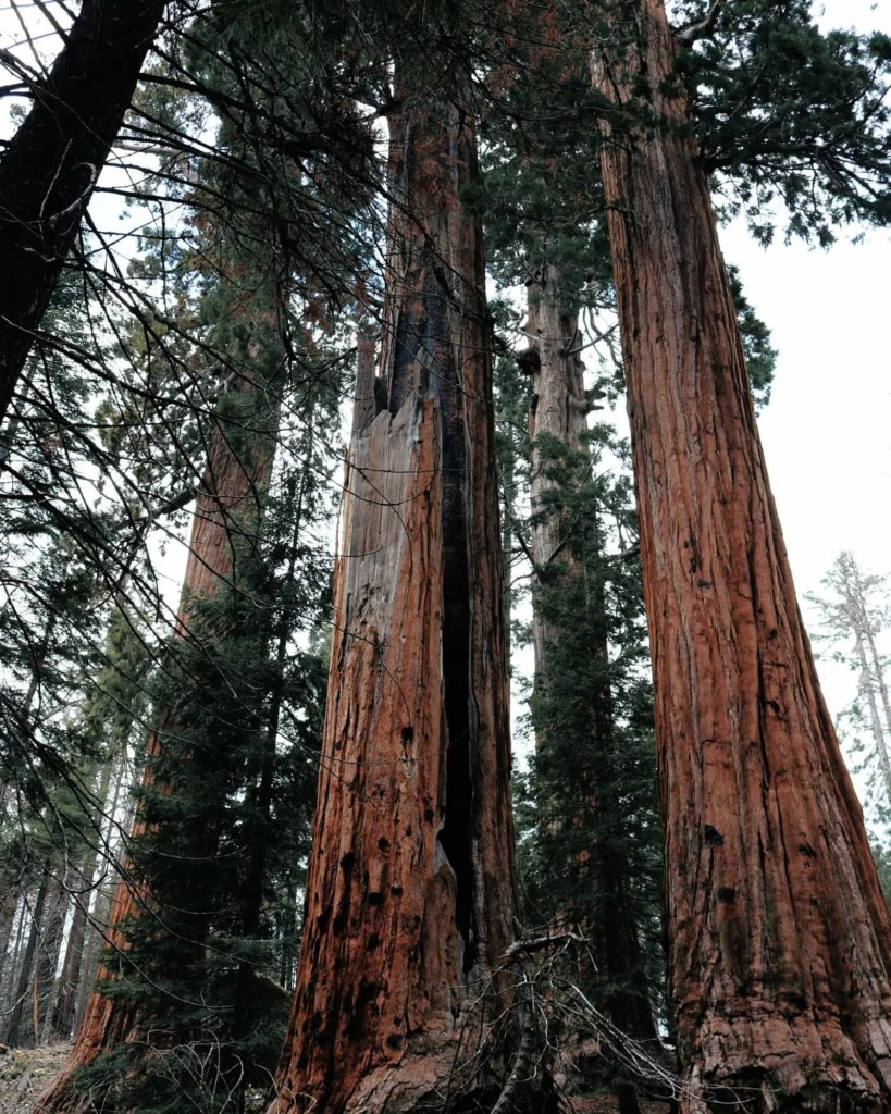 Tall sequoia trees that can be seen in two National Parks near Los Angeles.